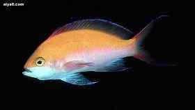 海水鱼烂鳍病的治疗