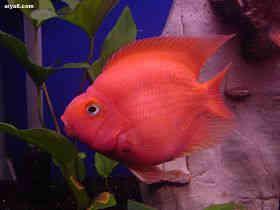可爱鹦鹉鱼