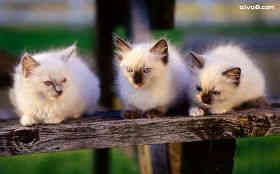 小猫三剑客