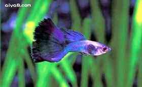 莫斯科蓝孔雀鱼
