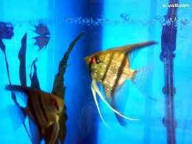 我的神仙鱼