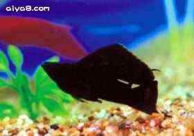 小型鱼大帆黑姑娘