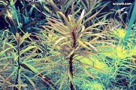 日本百叶水草