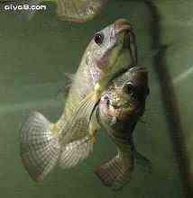 泰国曼谷连体鱼水底齐觅食