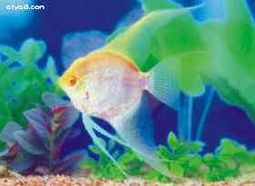 红眼神仙鱼