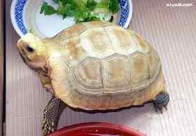 玉缅龟图片
