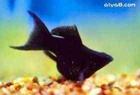 小型鱼黑球琴尾