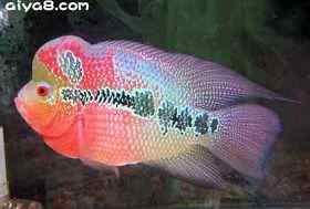 马来西亚小罗汉育鱼秘技