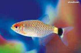 红目小型鱼