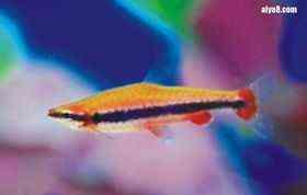 红肚铅笔鱼