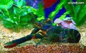 淡水龙虾图片