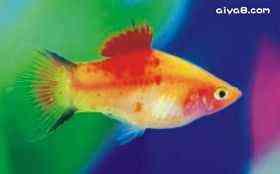 小型鱼黄双满