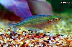 蓝美人观赏鱼