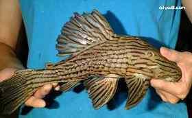 土库利银纹皇冠豹异型