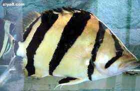 泰国虎大鱼