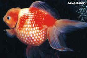 金鱼鹤顶红白珠鳞