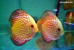 七彩神仙鱼的药物治疗