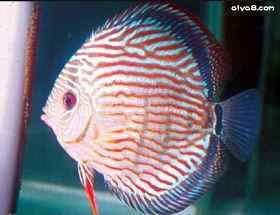 常见的七彩神仙病鱼外观症状