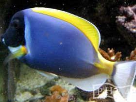 海水鱼-粉蓝倒吊