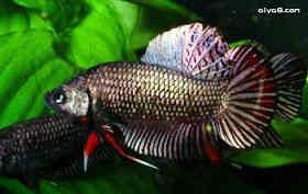 泰国斗鱼常见疾病