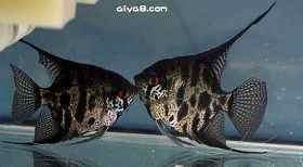 豹点神仙鱼
