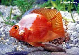 白头翁血鹦鹉鱼