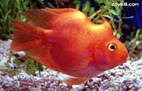 独角血鹦鹉鱼