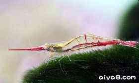 金背红尾红鼻虾