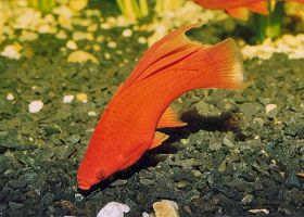 高鳍红剑尾鱼的饲养和繁殖