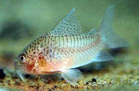 芝麻鼠鱼图片