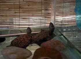 半水龟图片