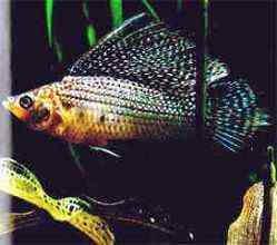 小型鱼金玛丽鱼