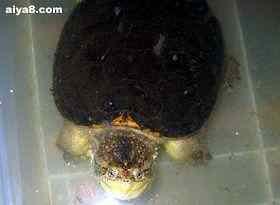 小鳄龟一只