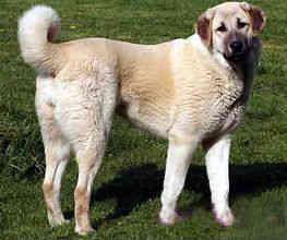 阿那托尔牧羊犬