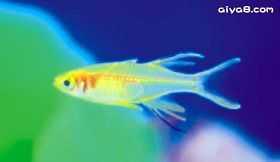 七彩霓虹观赏鱼图片