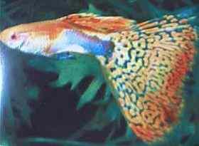 暗红眼红草尾孔雀鱼