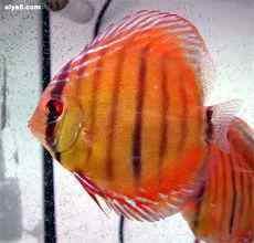 鱼儿翻肚前会出现什么症状