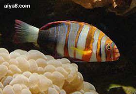 海水鱼-红横带龙