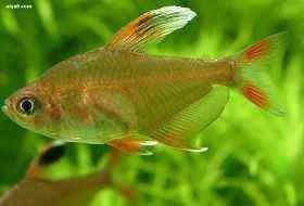 小型鱼银勾大旗公鱼