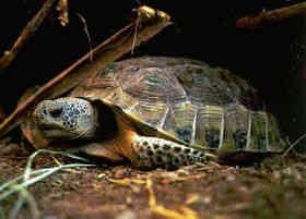 墨西哥地鼠龟