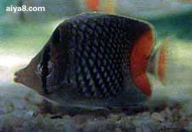 海水鱼-红尾蝶