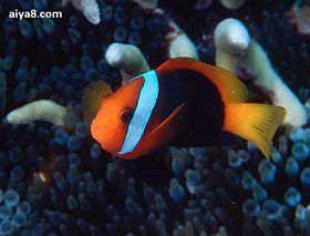 海水鱼红小丑