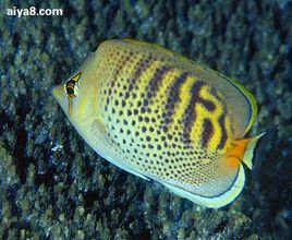 海水鱼-虎皮蝶