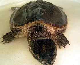 小鳄龟又一只