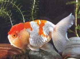 夏养金鱼预防两病