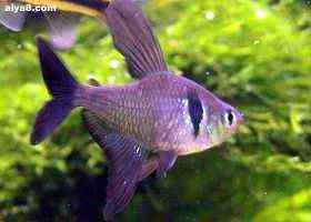 小型鱼图片大勾瑰旗公鱼