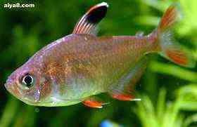 小型鱼图片玫瑰旗母鱼