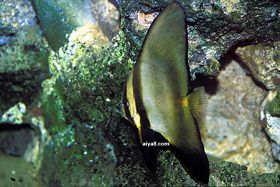 海水鱼-红边蝙蝠