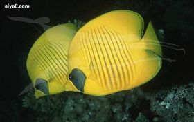 海水鱼-红海黄金蝶
