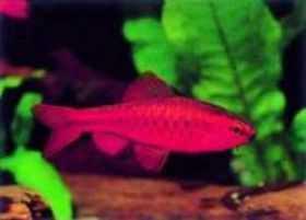 小型鱼红玫瑰
